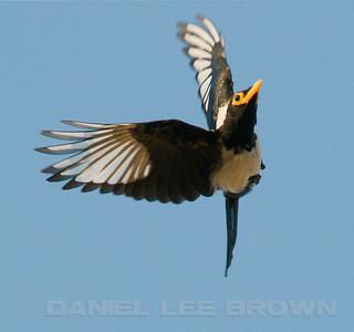 Corvids (Jays, Crows, Magpies, etc)