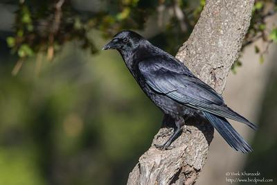 American Crow - Del Valle Regional Park, Livermore, CA, USA