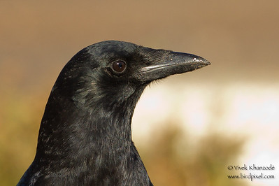 American Crow - Coyote Hills Regional Park, Fremont, CA, USA