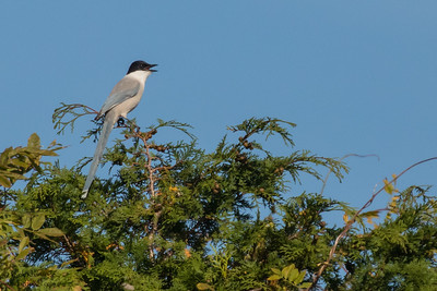 Azure-winged Magpie - Record - Tokyo, Japan