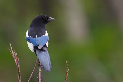Black-billed Magpie - Anchorage, AK, USA