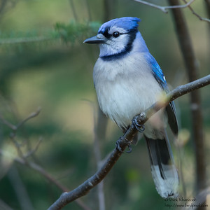 Blue Jay - Grayling, MI, USA