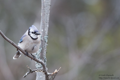 Blue Jay - Upper Peninsula, MI, USA