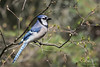 Blue Jay - Grayling, MI, USA