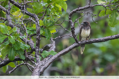 Brown Jay - Crooked Tree, Belize