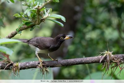 Brown Jay - Cartago, Costa Rica