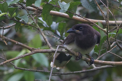 Brown Jay - Arenal, Costa Rica