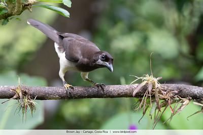 Brown Jay - Cartago, Costa Rica