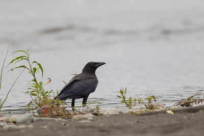 Carrion Crow - Kanagawa Prefecure, Japan
