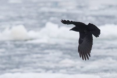 Carrion Crow in flight - Hokkaido, Japan