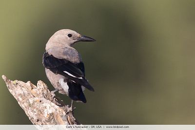 Clark's Nutcracker - OR, USA