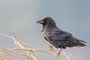 Common Raven - Pacifica, CA, USA
