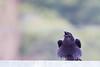 Common Raven - Point Reyes, CA, USA