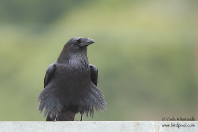 Common Raven - Point Reyes National Seashore, CA, USA