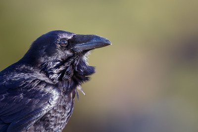 Common Raven - Pacifica, CA, USA