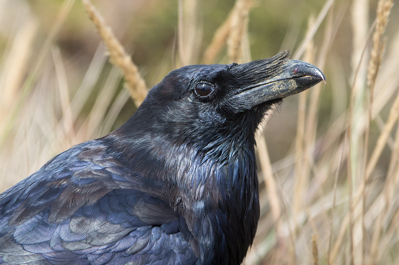 Common Raven Portrait - Point Reyes, CA, USA