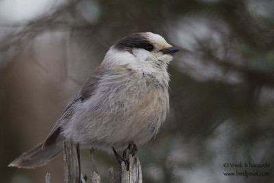 Gray Jay - Sax-Zim Bog, Nr. Duluth, MN, USA