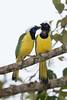 Inca Jays (Green Jay) - San Isidro Lodge, Ecuador