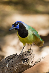 Green Jay - Martin Refuge, Mission, TX, USA