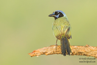 Green Jay - Laguna Seca Ranch, Edinburg, TX, USA