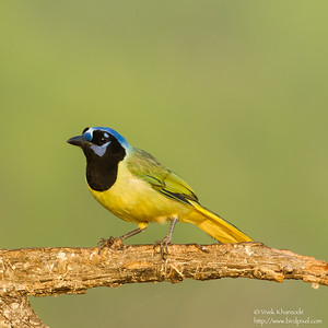 Green Jay - Edinburg, TX, USA