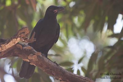 Jungle Crow - Record - Madhya Pradesh, India