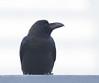 Large-billed Crow - Tokyo, Japan