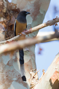 Rufous Treepie - Pench National Park, Madhya Pradesh, India