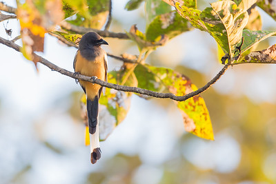 Rufous Treepie - Pench National Park, Madhya Pradesh, India