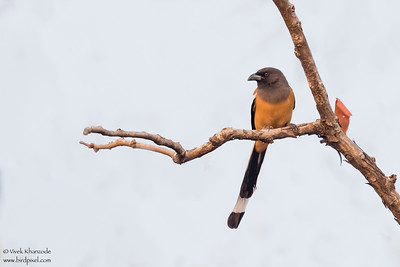 Rufous Treepie - Umred Karandhla WLS, India
