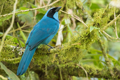 Turquoise Jay - Papallacta, Ecuador
