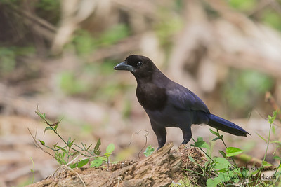 Violaceous Jay - Record - Amazonia Lodge, Nr. Manu National Park, Peru