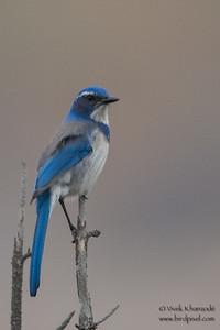 Western Scrub Jay - Coyote Hills, Fremont, CA, USA