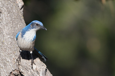 Western Scrub Jay - Del Valle Regional Park, Livermore, CA, USA