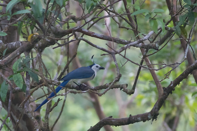 White-throated Magpie Jay - Record - Arenal - Costa Rica