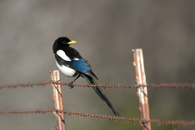 Yellow-billed Magpie - Panoche Valley, CA, USA