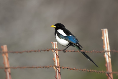 Yellow-billed Magpie; One of the only two CA endemics