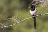 Yellow-billed Magpie - Del Valle Regional Park, Livermore, CA, USA