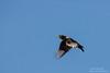 Yellow-billed Magpie - San Jose, CA, USA