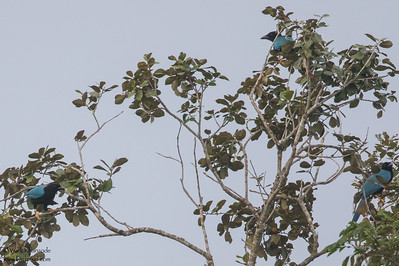 Yucatan Jay - Record - Crooked Tree, Belize