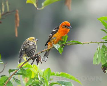 Flame-colored Tanager, Male and juvenile, Costa Rica.
