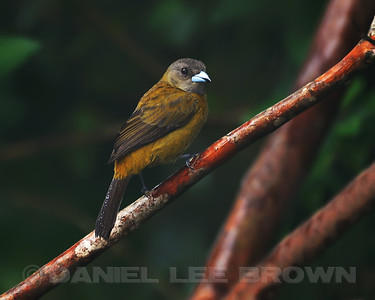 Female Passerini's Tanager, Rancho Naturalista, Costa Rica.