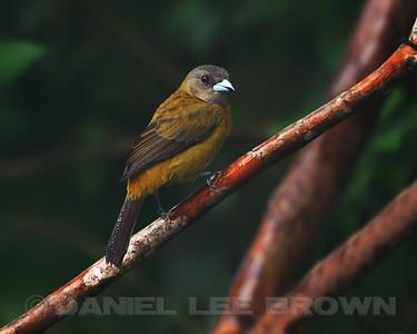 Female Passerini's Tanager, Rancho Naturalista, Costa Rica.