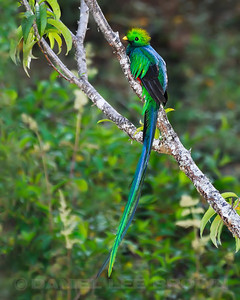 Male Resplendent Quetzal, near the Savegre Mountain Hotel, Costa Rica.