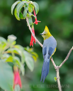 Long-tailed Silky Flycatcher, Costa Rica.