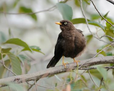 Sooty Robin, Costa Rica.
