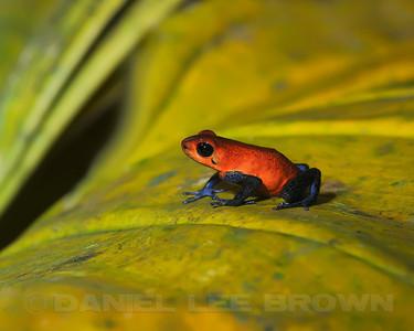 Strawberry Poison-dart Frog, Selva Verde, Costa Rica.