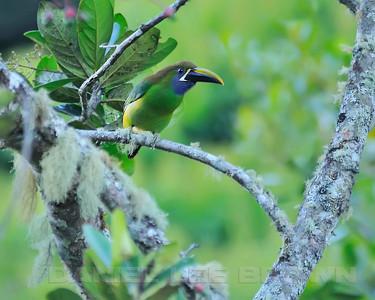 Emerald Toucanet,  near the Savegre Mountain Hotel, Costa Rica.