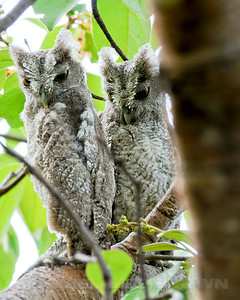 Fledgling Pacific Screech-Owls, Rancho Solimar, Costa Rica.