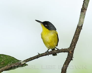 Common-Tody Flycatcher, Villa Lapas, Costa Rica.